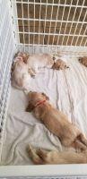 American Cocker Spaniel Puppies for sale in Brandon, FL 33511, USA. price: NA