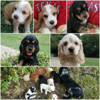 American Cocker Spaniel Puppies for sale in Fort Worth, TX, USA. price: NA