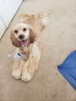 American Cocker Spaniel Puppies for sale in Antioch, CA, USA. price: NA