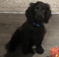 American Cocker Spaniel Puppies for sale in Kansas City, MO, USA. price: NA