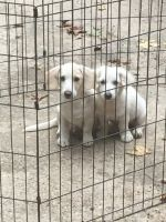 American Cocker Spaniel Puppies for sale in Moss Point, MS, USA. price: NA