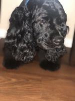 American Cocker Spaniel Puppies for sale in Eastvale, CA, USA. price: NA