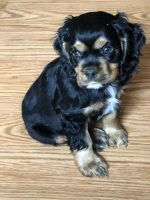 American Cocker Spaniel Puppies for sale in Topeka, KS, USA. price: NA