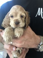 American Cocker Spaniel Puppies for sale in Little Elm, TX, USA. price: NA