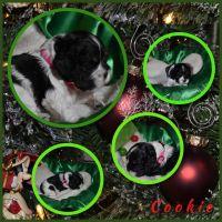 American Cocker Spaniel Puppies for sale in Yuba City, CA, USA. price: NA
