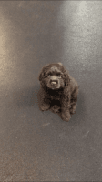 American Cocker Spaniel Puppies for sale in Carson, CA, USA. price: NA