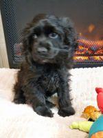 American Cocker Spaniel Puppies for sale in Richmond, VA, USA. price: NA