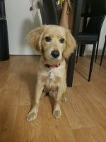 American Cocker Spaniel Puppies for sale in La Crescenta-Montrose, CA, USA. price: NA