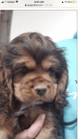 American Cocker Spaniel Puppies for sale in Brown Deer, WI, USA. price: NA
