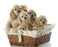 American Cocker Spaniel Puppies for sale in Nashville, TN, USA. price: NA
