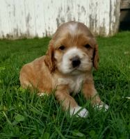 American Cocker Spaniel Puppies for sale in Topeka, IN 46571, USA. price: NA