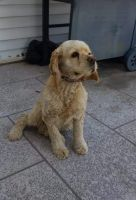 American Cocker Spaniel Puppies for sale in New Harmony, UT, USA. price: NA