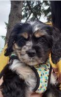 American Cocker Spaniel Puppies for sale in Peachtree Corners, GA, USA. price: NA
