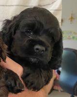 American Cocker Spaniel Puppies for sale in Mt Pleasant, SC 29466, USA. price: NA