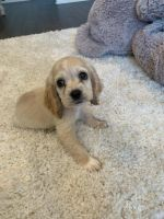American Cocker Spaniel Puppies for sale in Fontana, CA 92336, USA. price: NA
