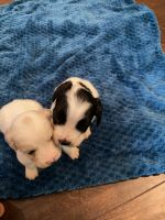 American Cocker Spaniel Puppies for sale in Grovetown, GA 30813, USA. price: NA