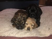 American Cocker Spaniel Puppies for sale in Omaha, NE, USA. price: NA