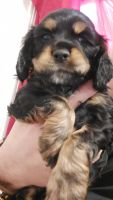 American Cocker Spaniel Puppies for sale in Usa Today Way, Murfreesboro, TN 37129, USA. price: NA