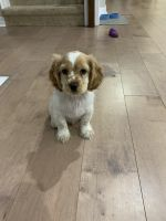 American Cocker Spaniel Puppies for sale in San Antonio, TX, USA. price: NA