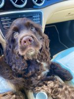 American Cocker Spaniel Puppies for sale in West Palm Beach, FL, USA. price: NA