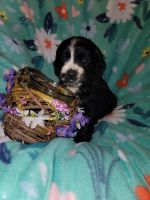 American Cocker Spaniel Puppies for sale in Oronogo, MO, USA. price: NA