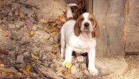 American English Coonhound Puppies for sale in Arden, DE 19810, USA. price: NA