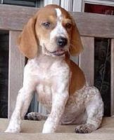 American English Coonhound Puppies for sale in Dallas, TX, USA. price: NA