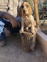 American English Coonhound Puppies for sale in Rio Rico, AZ 85648, USA. price: NA