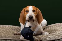american english coonhound dog