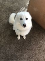 American Eskimo Dog Puppies for sale in Mableton, GA, USA. price: NA