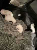 American Eskimo Dog Puppies for sale in Columbus, OH, USA. price: NA