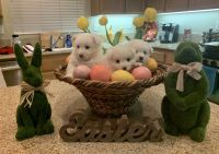 American Eskimo Dog Puppies for sale in Beaumont, CA, USA. price: NA