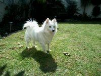 american eskimo dog dog
