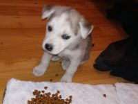 American Foxhound Puppies for sale in 2840 Frederick St, Los Angeles, CA 90065, USA. price: NA