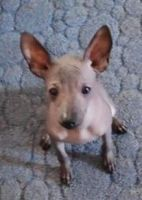 American Hairless Terrier Puppies Photos