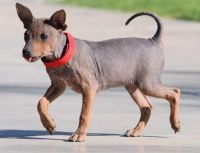 American Hairless Terrier Puppies for sale in Fargo, ND, USA. price: NA