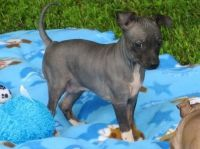 American Hairless Terrier Puppies for sale in Chula Vista, CA, USA. price: NA
