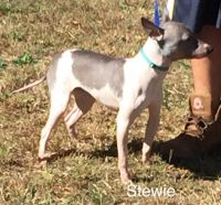 American Hairless Terrier Puppies for sale in Catawissa, MO 63015, USA. price: NA