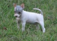 American Hairless Terrier Puppies for sale in Colorado Springs, CO, USA. price: NA
