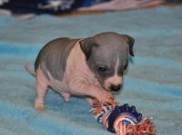 American Hairless Terrier Puppies for sale in Houston, TX, USA. price: NA