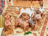 American Hairless Terrier Puppies for sale in Honolulu, HI, USA. price: NA