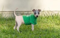 American Hairless Terrier Puppies for sale in Provo, UT, USA. price: NA