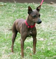 American Hairless Terrier Puppies for sale in Arden, DE 19810, USA. price: NA