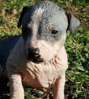 American Hairless Terrier Puppies for sale in Dallas, TX, USA. price: NA