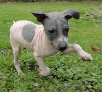 American Hairless Terrier Puppies for sale in Agoura Hills, CA, USA. price: NA