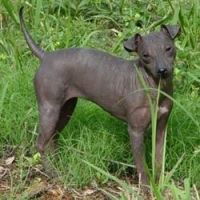 American Hairless Terrier Puppies for sale in Caddo Mills, TX 75135, USA. price: NA