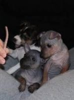 American Hairless Terrier Puppies for sale in Louisville, KY, USA. price: NA