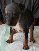 American Hairless Terrier Puppies for sale in Los Angeles, CA, USA. price: NA