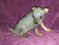 American Hairless Terrier Puppies for sale in Seattle, WA 98103, USA. price: NA