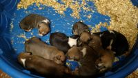 American Hairless Terrier Puppies for sale in Culpeper, VA 22701, USA. price: NA